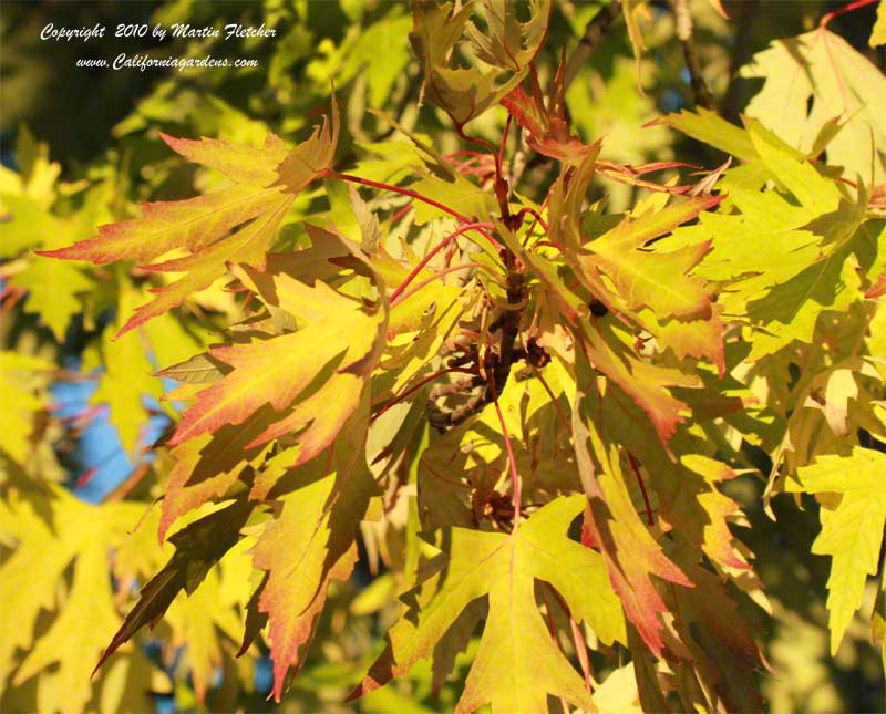 Acer saccharinum, Silver Maple