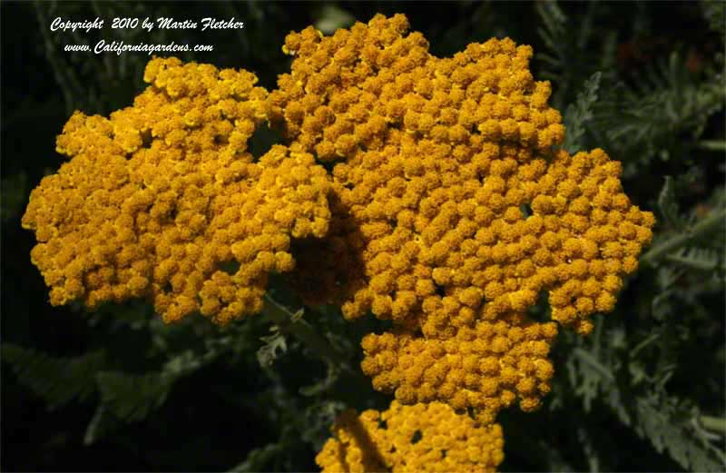 Achillea Coronation Gold, Fernleaf Yarrow