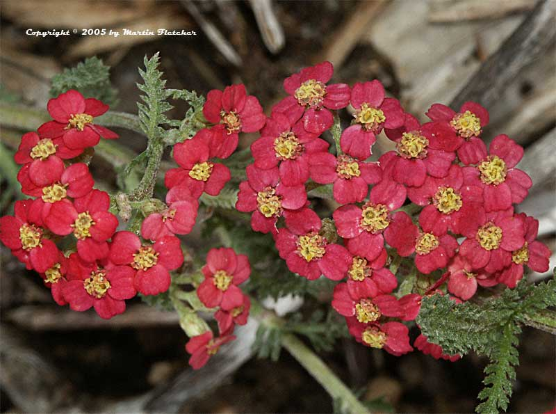 Achillea The Beacon, The Beacon Yarrow
