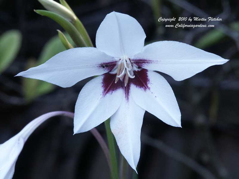 Acidanthera bicolor, Peacock Orchid