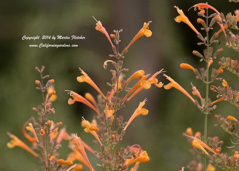 Agastache Apricot Sprite, Orange Hummingbird Mint
