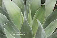 Agave Blue Flame, Blue Flame Agave
