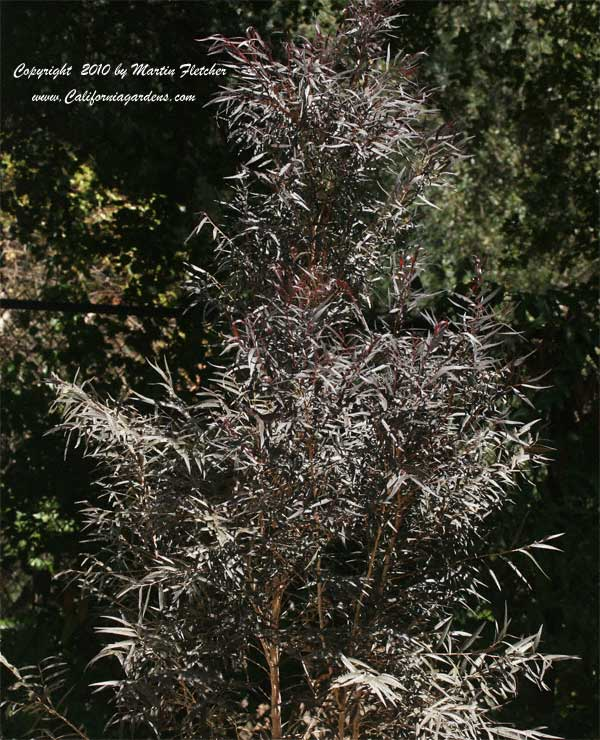 Agonis flexuosa After Dark