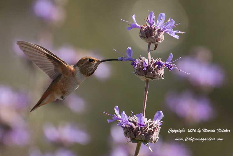 Allens Hummingbird on Sage
