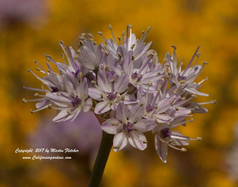 Allium howellii var howellii, Howell's Onion