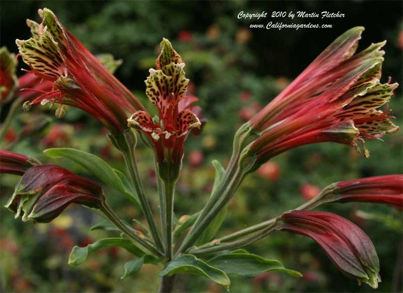 Alstroemeria psittacina, Parrot Lily
