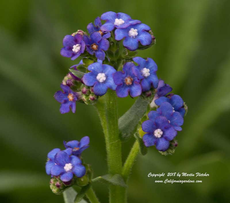 Anchusa capensis, Summer Forget Me Not