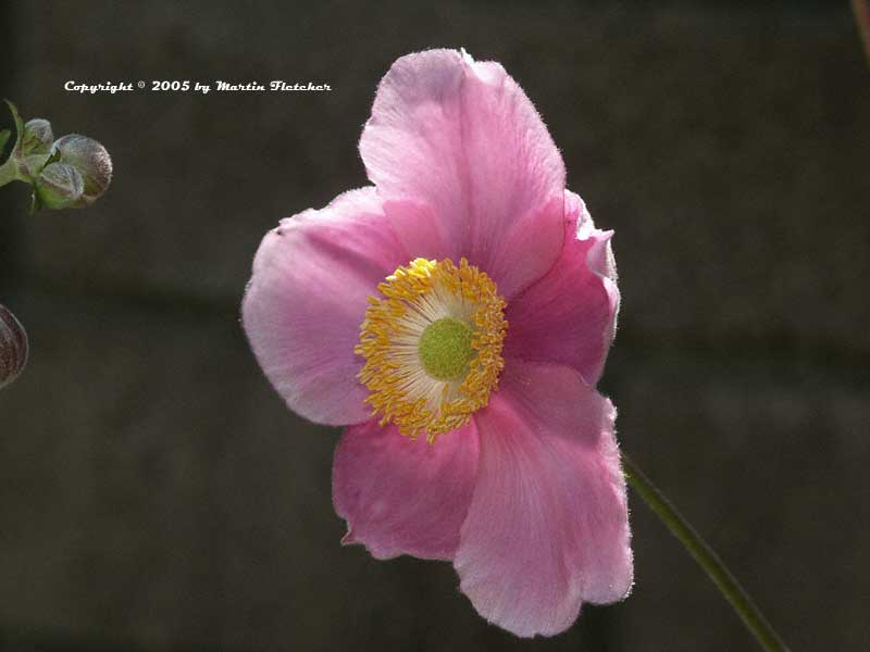 Anemone September Charm, Single Pink Windflower