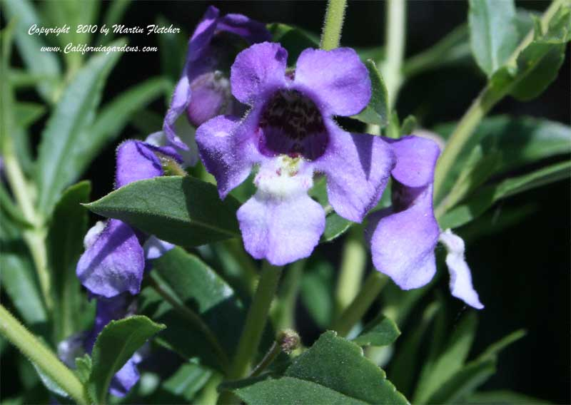 Angelonia angustifolia, Summer Snapdragon