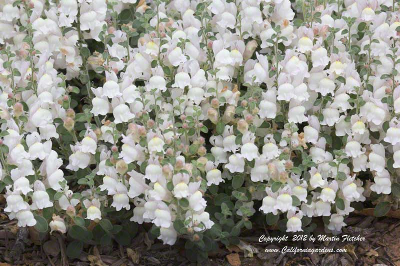 Antirrhinum hispanicum, Spanish Snapdragon