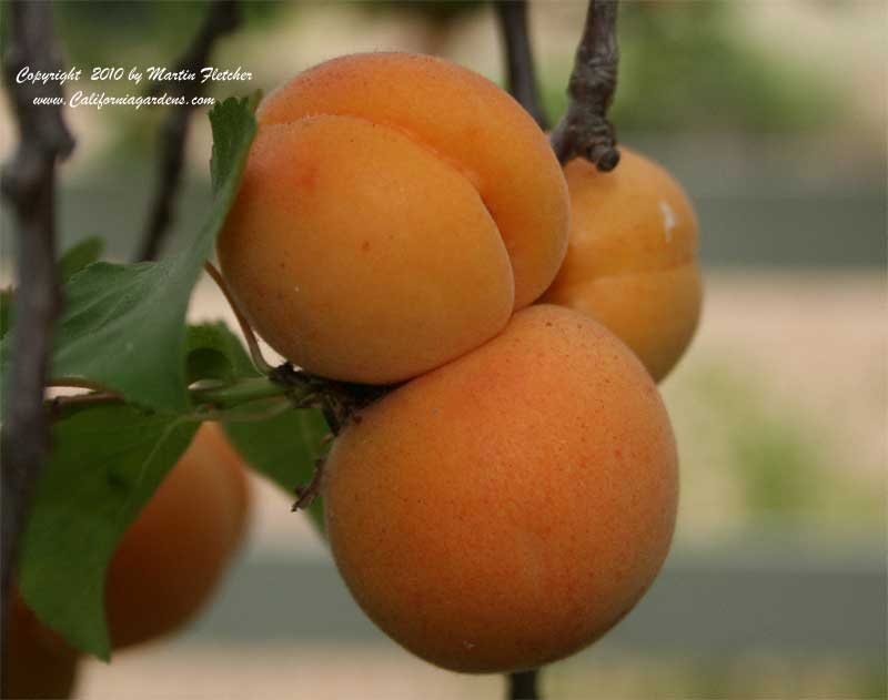 Blenheim Royal Apricot