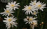 Argyranthemum frutescens Silver Lady, Silver Lady Marguerite