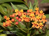 Asclepias curassavica Red Butterflies, Red Butterflies Butterfly Weed, Tropical Milkweed