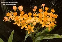 Asclepias curassavica Silky Gold, Silky Gold Tropical Milkweed