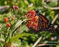 Asclepias curassavica, Tropical Milkweed, Bloodweed