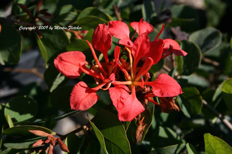 Bauhinia galpinii, Red Orchid Bush