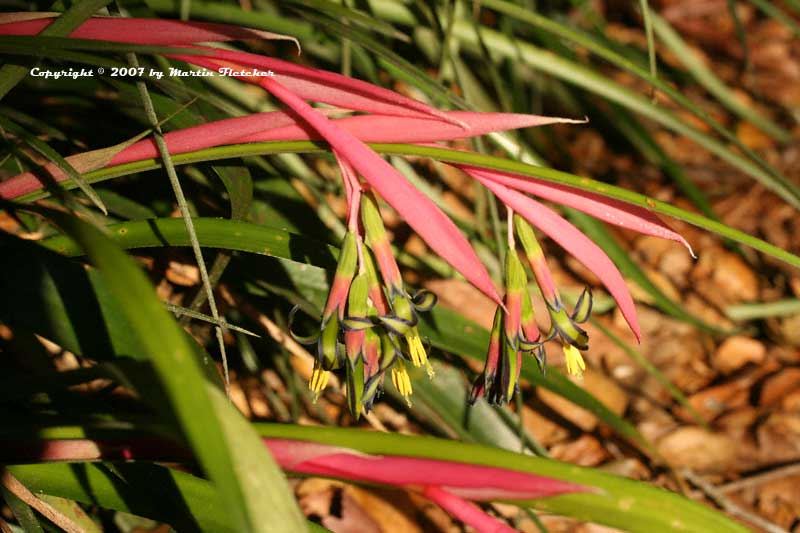 Billbergia nutans, Queens Tears