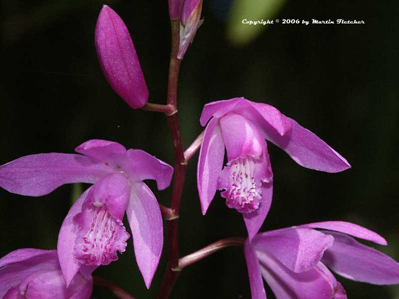 Bletilla striata, Chinese Ground Orchid