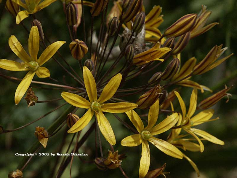 Bloomeria crocea, Golden Star