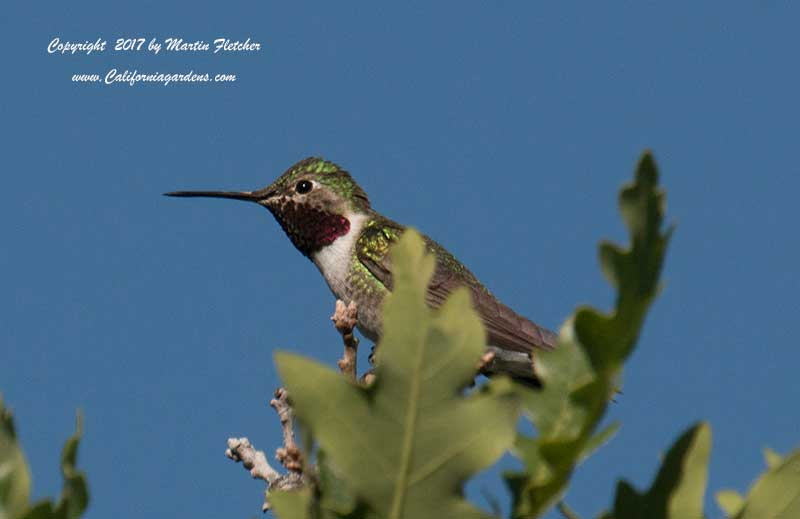 Broad Tailed Hummingbird Garden