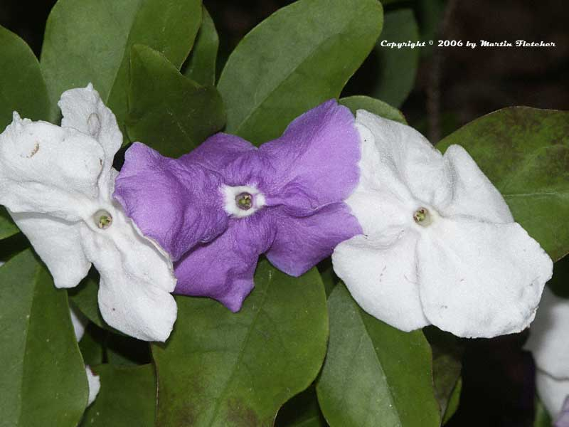 Brunfelsia uniflora, Yesterday Today and Tomorrow