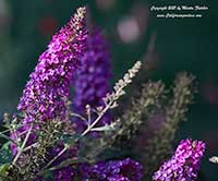 Buddleia Color Crush, Color Crush Butterfly Bush