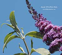 Buddleia Pink Delight, Pink Delight Butterfly Bush