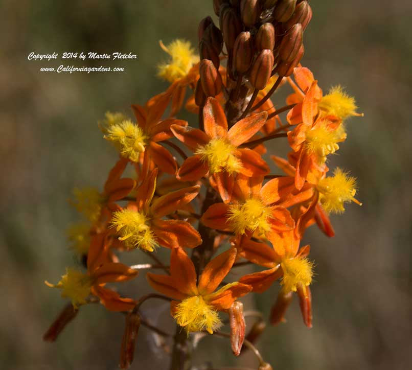 Bulbine Hallmark, Orange Flowered Bulbine