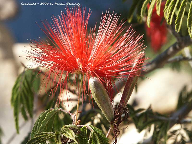 Calliandra tweedii, Red Tassel Bush