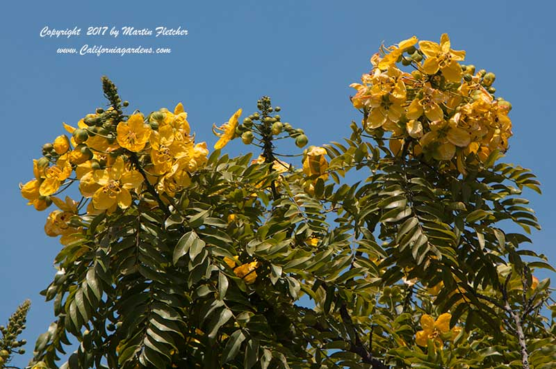 Cassia leptophylla, Gold Medallion Tree