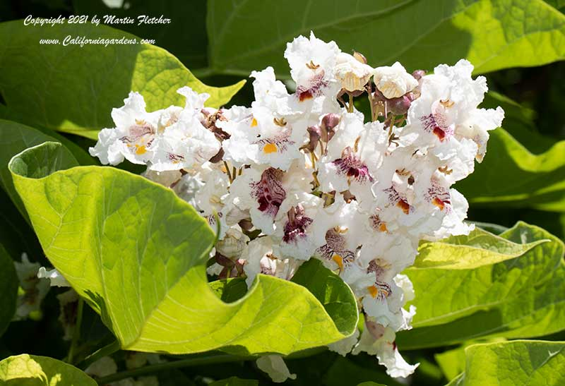 Catalpa speciosa, Northern Catalpa