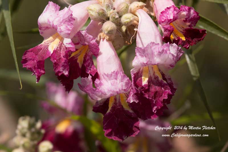 Chilopsis linearis Purple Splendor, Desert Willow