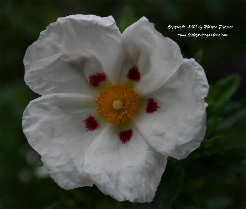 Cistus ladanifer maculatus, Brown Eyed Rockrose