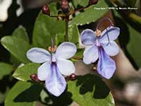 Clerodendrum ugandense, Blue Butterfly