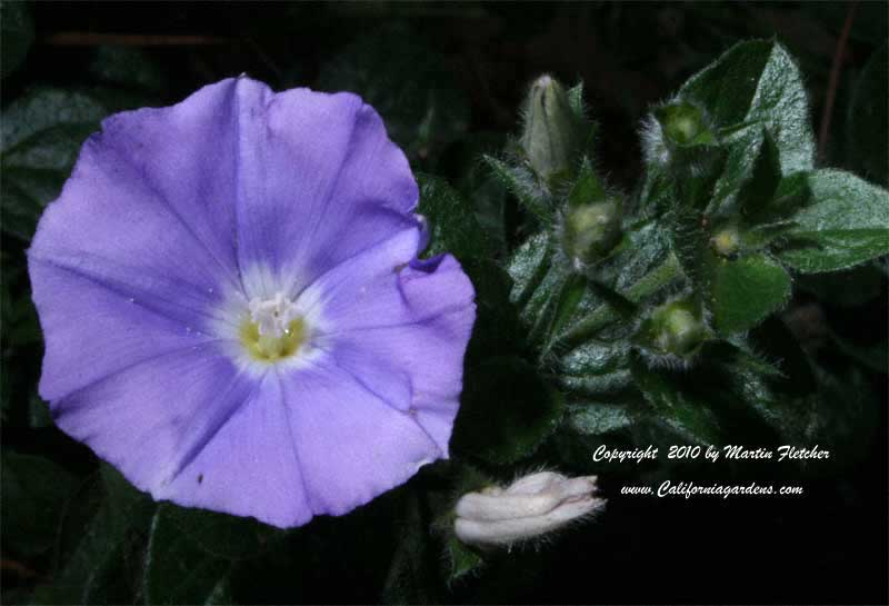 Convolvulus sabatius, Ground Morning Glory