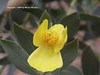 Dendromecon harfordii, Island Bush Poppy