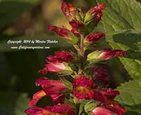 Digitalis Illumination Flame