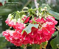 Dombeya cacuminum, Strawberry Snowball Tree