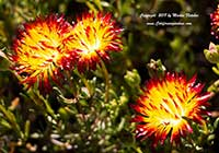 Drosanthemum bicolor, Dew Flower