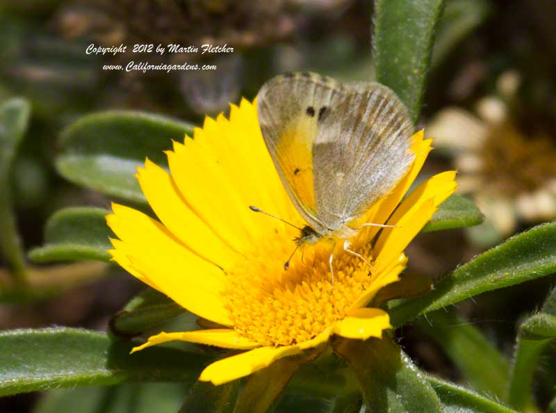 Dwarf Yellow Sulpher Butterfly, Nathalis iole