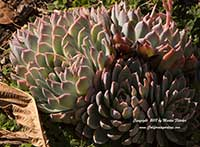 Echeveria Violet Queen, Violet Queen Hens and Chicks