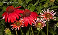Echinacea Salsa Red, Salsa Red Cone Flower