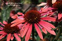 Echinacea Sunset, Sunset Cone Flower