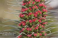 Echium wildpretii, Tower of Jewels