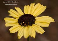 Encelia californica Paleo Yellow, Paleo Yellow California Brittle Bush