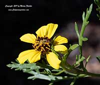 Encelia ventorum, Baja Bush Sunflower