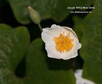 Eomecon chionantha, Chinese Bloodroot, Snow Poppy