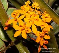 Epidendrum radicans, Reed Stem Epidendrum, Ground Rooting Epidendrum, Fire Star Orchid, Rainbow Orchid