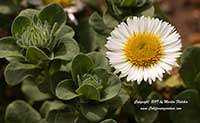 Erigeron glaucus White Lights, White Lights Seaside Daisy