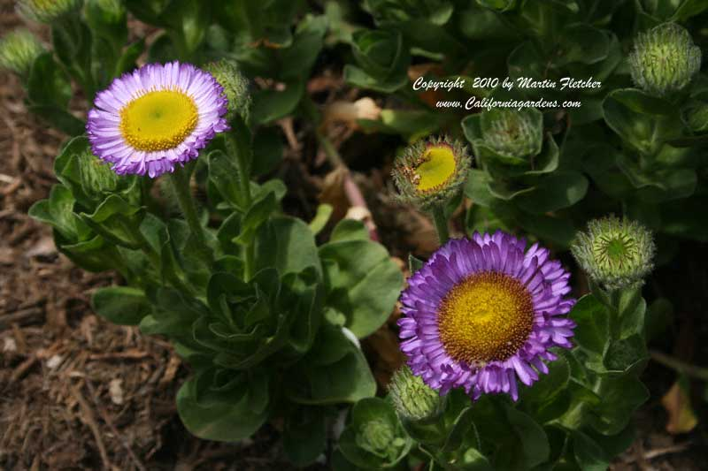 Erigeron Sea Breeze, Pink Seaside Daisy